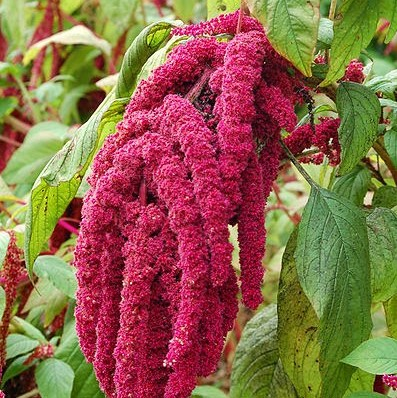 Phytomulse® Amaranth