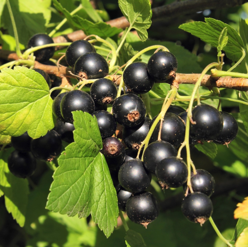 PhytoCide Black Currant Powder