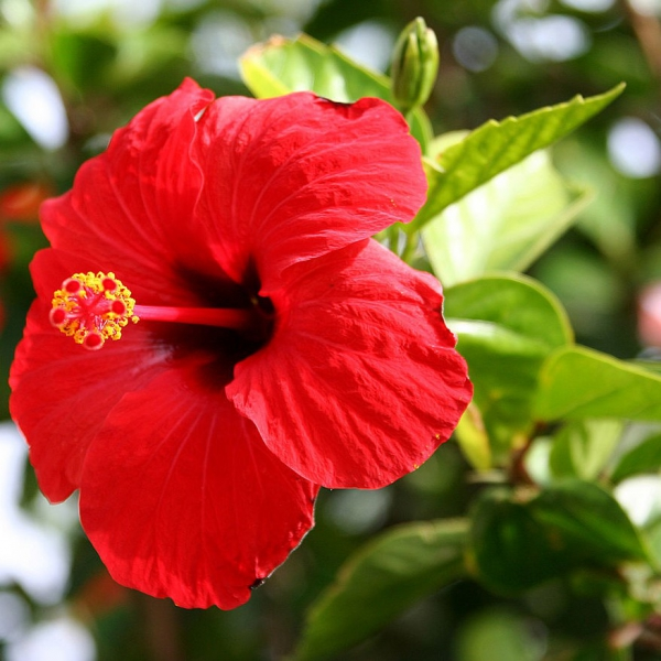 FSS Hibiscus Extract OS