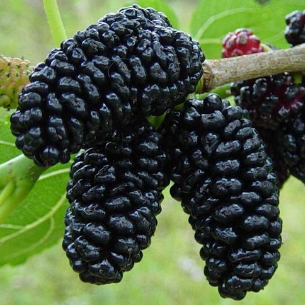 FSS Mulberry Extract G