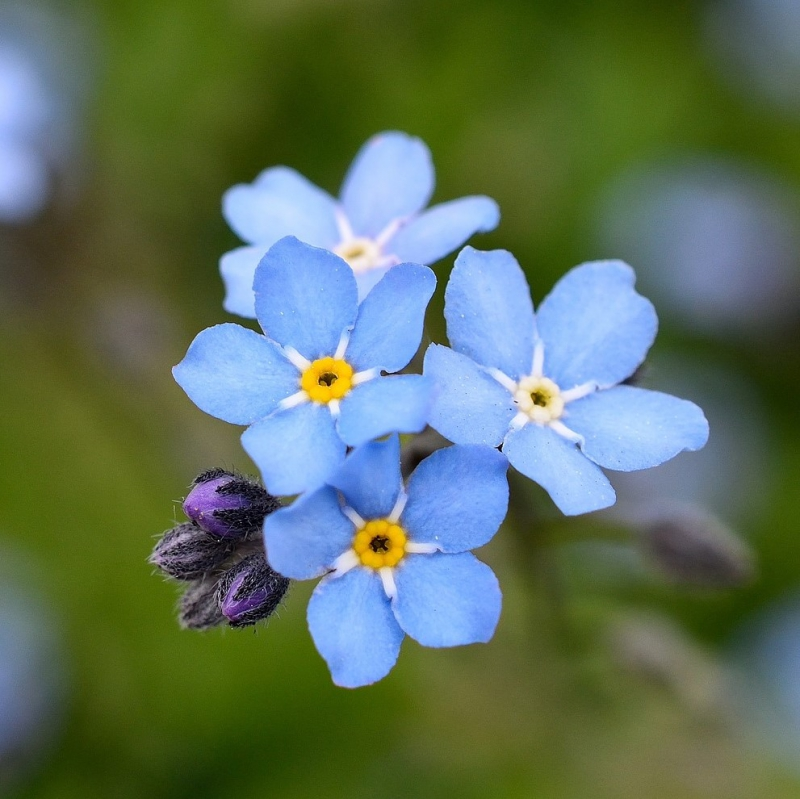 FSS Forget-Me-Not & Geranium Extract OS